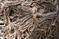 Dried tree roots stock image