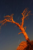 Dried tree and star trails in Cirali Royalty Free Stock Image