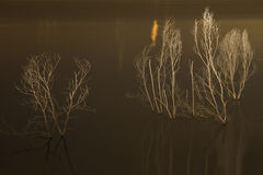 Dried Trees. Dy trees on a lake with reflection Stock Photos