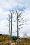 Dried trees against the sky. Two dry or sapless trees against cloudy sky Stock Photos