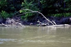 Dried trees on the Danube(3). A dry tree still watches with trunk stuck in the Danube.Dry tree fallen on bad natural shelters for fish, crayfish, aquatic animals royalty free stock photos
