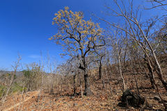 Dried trees in the drought forest inside drought empty Song Long Song ( River riverbed ) lake Stock Photos