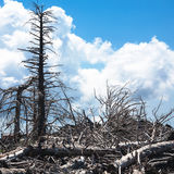 Dried trees on slope of Etna volcano royalty free stock images