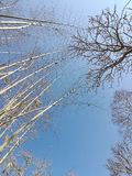 Dried trees under the blue sky. Royalty Free Stock Images
