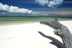Dried trunk. A dried trunk of a tree on a wonderful white sand beach in Zanzibar (Nongwe stock photos