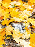 Dried trunk and fallen maple leaves Stock Image