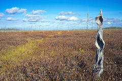 The dried trunk of a tree on a beautiful autumn marsh Royalty Free Stock Images