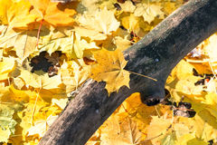 Dried trunk and yellow maple leaf litter close up Royalty Free Stock Photography