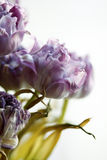 Dried tulips Stock Photos