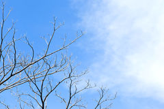Dried Twigs Branch on Dead Tree and Sky Background. Dried Twigs Branch on Dead Tree Dead Tree and light on Sky like Hope Stock Photography