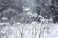 The dried umbellate herbs during snowfall Stock Photography