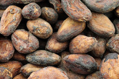 Dried unpeeled cocoa beans Stock Image