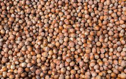 Dried unshelled hazelnuts seeds of Whole nuts. As background Stock Image