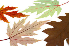 The dried up autumn leaves of a maple Royalty Free Stock Photo