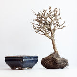 The dried up bonsai on a white background. The dried up bonsai about a flowerpot on a white background stock photography