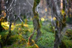 The dried-up branches overgrown with a moss in the foreground royalty free stock images