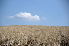 Dried up Cornfield Royalty Free Stock Images