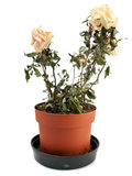 The dried-up, faded rose in a pot Royalty Free Stock Photo