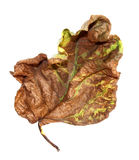 Dried up a huge crumpled leaves of poplar Royalty Free Stock Photos