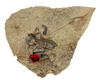 Dried up leaves of poplar with geranium and Crassula Stock Photography
