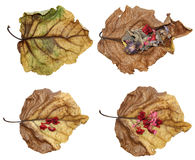 Dried up leaves of poplar with geranium. Dried up a huge crumpled brown with golden and green-veined leaves of poplar filled with geranium flowers stock illustration