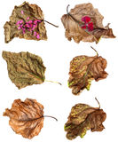 Dried up leaves of poplar with geranium. Dried up a huge crumpled brown with golden and green-veined leaves of poplar in the form of boats filled with flowers royalty free illustration