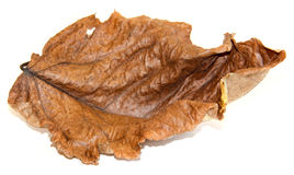 Dried up leaves of poplar  Stock Photos