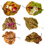 Dried up leaves of poplar with rose and geranium. Dried up a huge crumpled brown with golden and green-veined leaves of poplar filled with rose and chamomile vector illustration