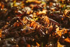 Dried Up Maple Leafs on Ground Selective Focus Photography Royalty Free Stock Photography