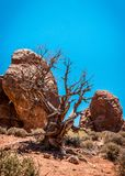 Dried up old tree. Desert Moab, Utah, United States. Desert lifeless landscape of Utah, USA Stock Image