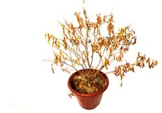 Dried-up Potted Plant Stock Image