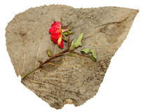 Dried up pressed leaves of poplar with red rose Royalty Free Stock Images