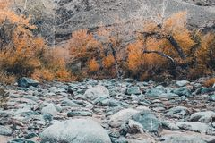 Dried up riverbed with stones and poplars on the shore. The theme of the autumn, yellow leaves, cloudy weather Royalty Free Stock Photos