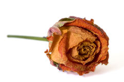 Dried up rose Stock Photo