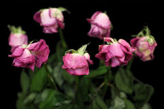 The dried up roses. In black background Royalty Free Stock Photos