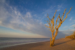 Dried up tree at sea. A dried up tree standing on the beach of botany bay. And the sunlight from the rising sun poured on the tree Royalty Free Stock Photo