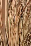 Dried vetiver Stock Image