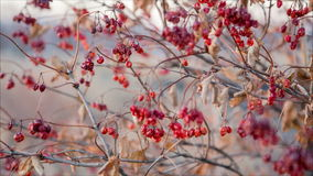 Dried viburnum berries on swinging branches stock footage