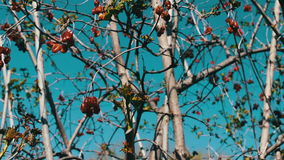 Dried viburnum berries on swinging branches stock video footage
