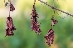 Dried vine leaves in a wineyard in italy Stock Images