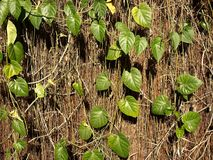 Dried vines and green leaves Stock Image