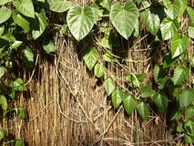 Dried vines and green leaves Royalty Free Stock Photo