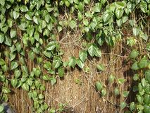 Dried vines and green leaves Royalty Free Stock Photos