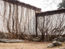 Dried vines on white plaster wall Stock Images