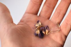 Dried violet flowers in hand, close-up, isolate stock photography