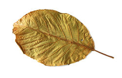 Dried walnut leaf Royalty Free Stock Photo