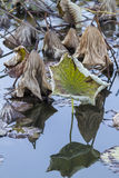 Dried waterlily and reflection on lake in autumn Royalty Free Stock Photo