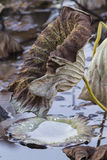 Dried waterlily and reflection on lake in autumn Stock Photo