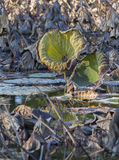 Dried waterlily and reflection on lake in autumn Stock Image