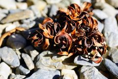 Dried wattleseed of Australian acacia. Dried brown wattleseed of Australian acacia Stock Images